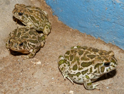 Best monsoon ever this year. So many frogs and toads and critters of all kinds. Our driveway is a popular spot because the porch light attracts lots of yummy insects.