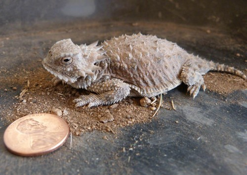 This has got to be the offspring of an adult regal horned lizard I've seen in my yard in previous years. I am so honored. I keep my water stations clean and they love it.