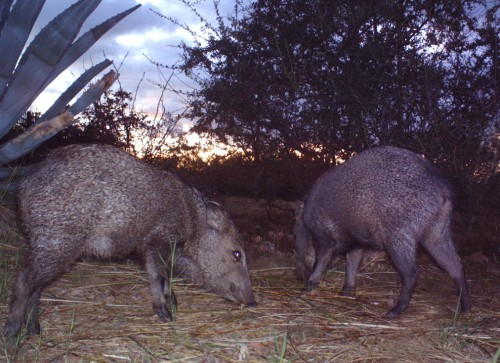 The birdcam picked up these javelinas too. Nobody really wants them in their yards though because they can be aggressive.