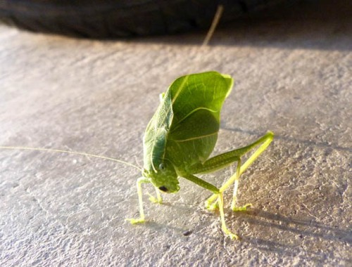 A curious leaf bug