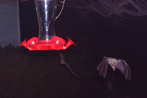I borrowed my customer's birdcam and got the best pictures of the Mexican longnosed bats since I've been here.