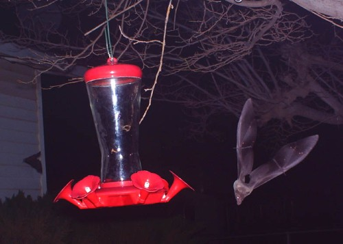 I wasn't able to record their acrobatics as well with my camera as well as the birdcam does.