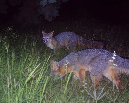 What's better than an elegant little gray fox? Two of them.